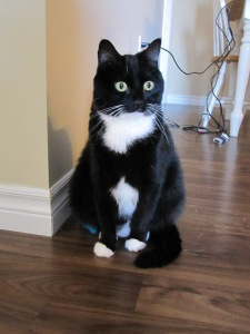 Maddie in all her tuxedo glory. I wonder if she'd be open to a bow tie...