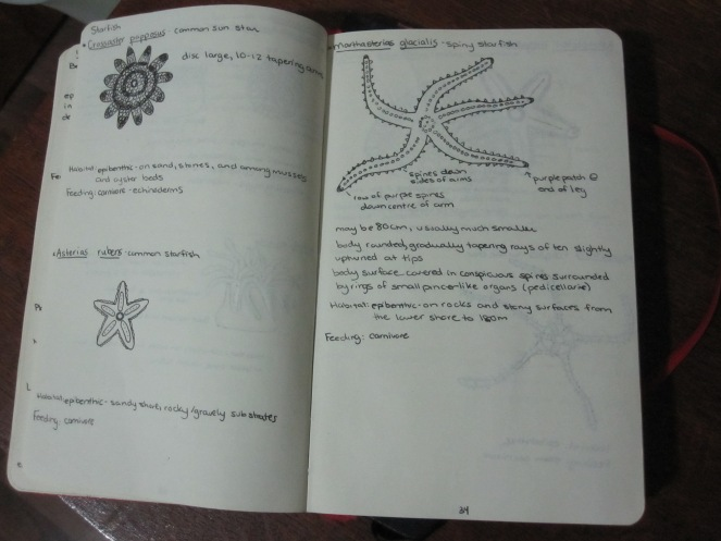 biological drawing of starfish