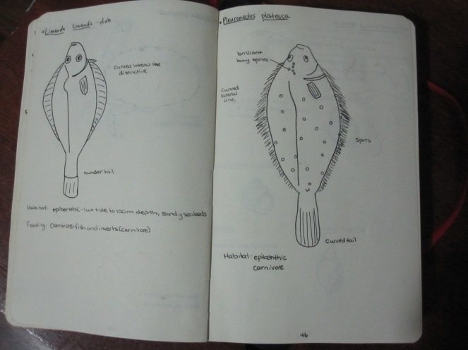 biological drawing flat fish