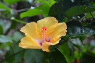 I found this pretty hibiscus flower.